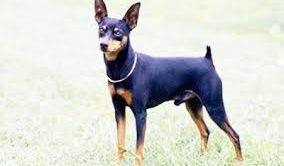 Minyatür Pincher Köpek Eğitimi