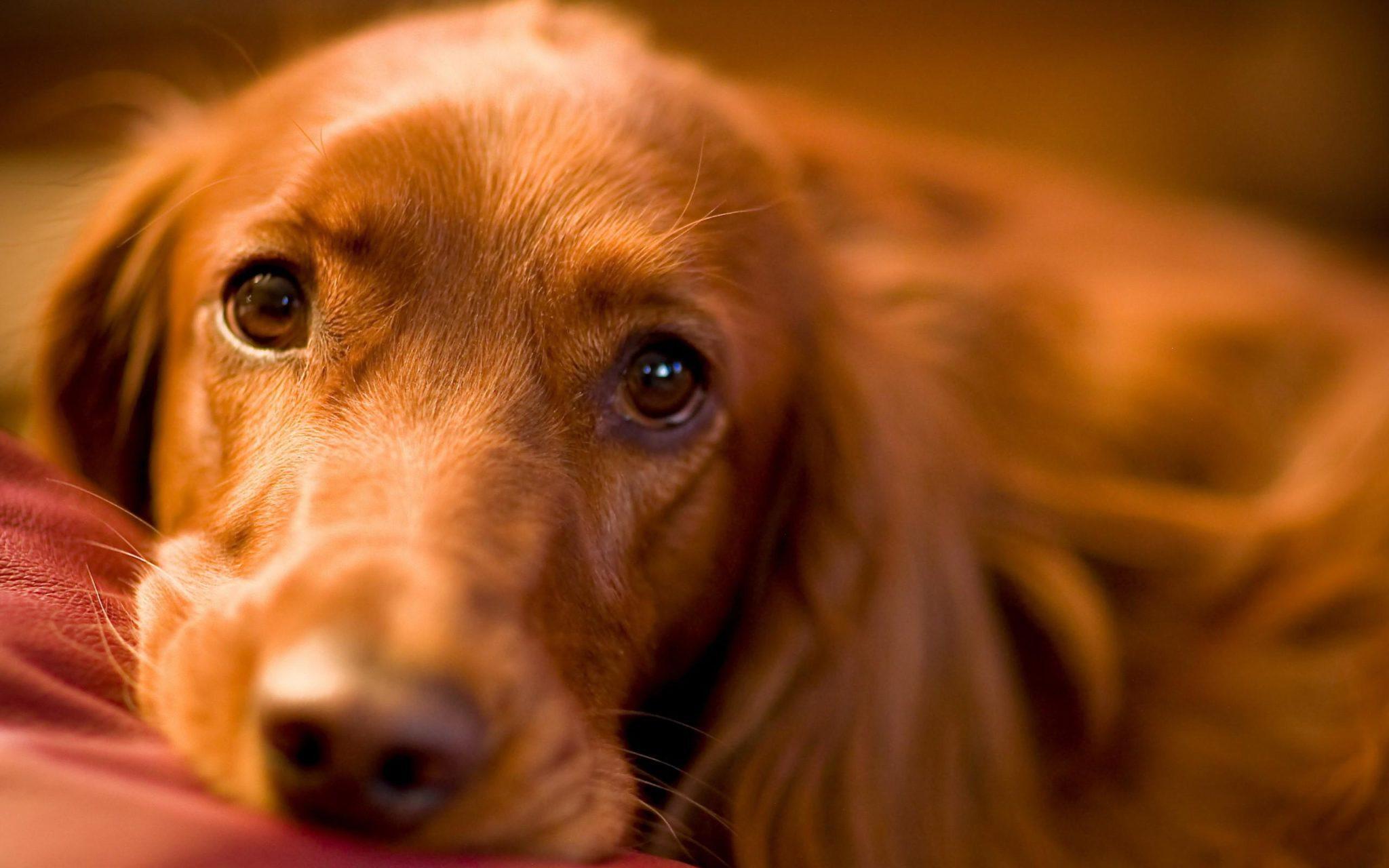 http://www.kopekegitimi.gen.tr/wp-content/uploads/2016/05/sweet_irish_dog_eyes_pictures.jpg