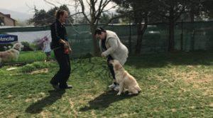 English Setter Köpek Eğitimi