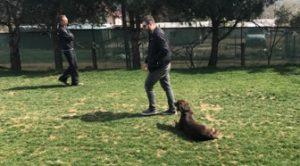 Labrador Köpek Eğitimi