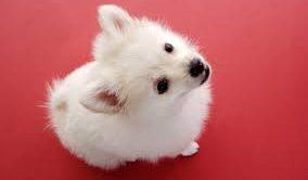 Pug Köpek Eğitimi
