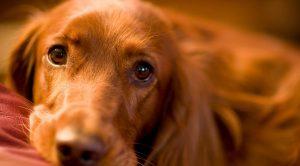 Kurzhaar Köpek Eğitimi