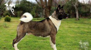 Köpek Eğitimi Rottweiler
