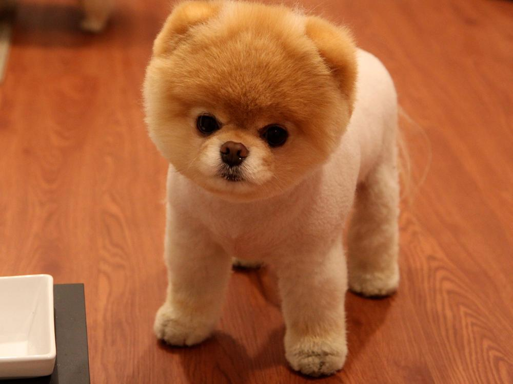Boo >> Pomeranian Boo Kopek Egitimi