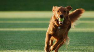 Tibetan Mastiff Köpek Eğitimi